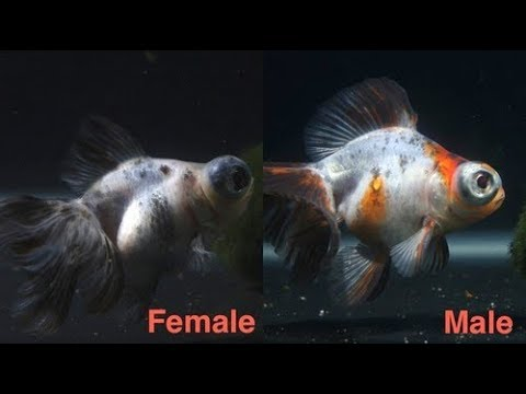 Aquarium Male and Female fish difference