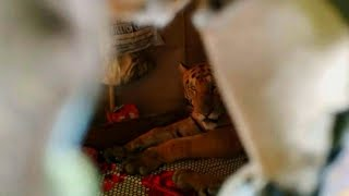 Tiger Hides in Family's Home to Escape Flood