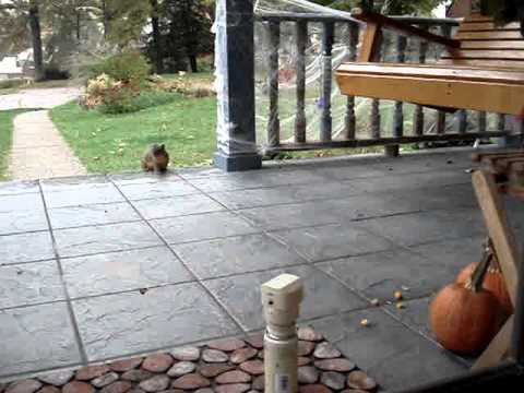 Squirrel trying to eat our pumpkins and gets a surprise instead