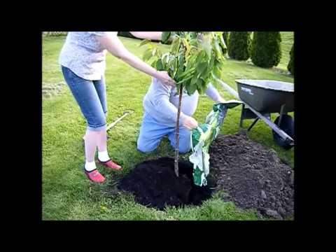 Planting a Cherry Tree!