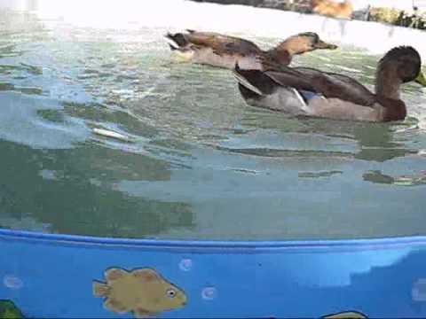 Duck Farts