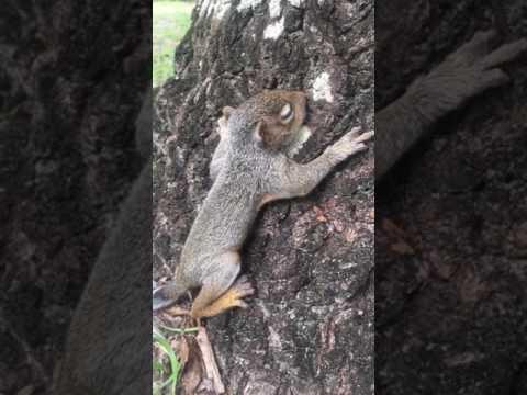 Baby squirrel rescue update!