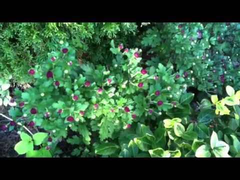 Magenta Mum Just Starting to Bloom! Episode 1 #chrysanthemum #flowers