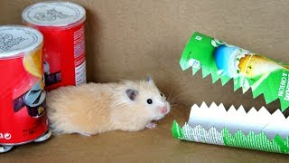 Hamster Pringles Obstacle Course