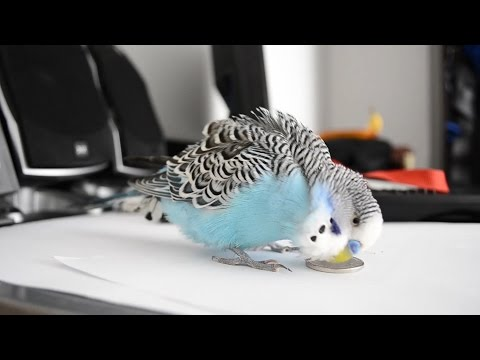 8 hours Budgie sounds - Talking to 1KM
