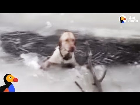 Dog Stuck In Icy Lake Cries To Rescuers For Help   The Dodo