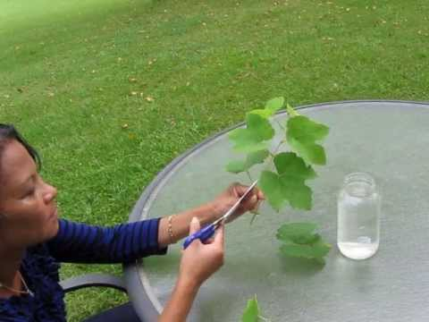 Let's Grow Grape Vines from Cuttings