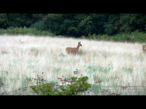 Roe Deer (late summer)