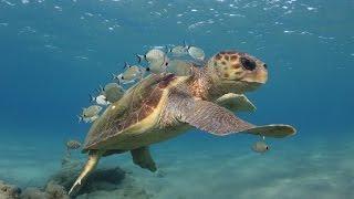 Loggerhead sea turtle cleaning stations