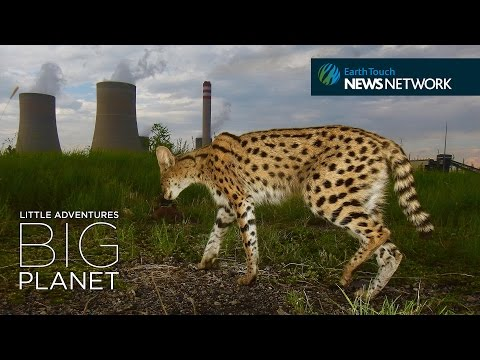 The serval cats of Secunda