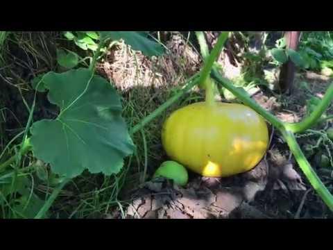 Pumpkins 'Rouge Vif d'Etampes'