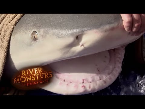 One Of The Largest Bull Sharks Ever Caught - River Monsters