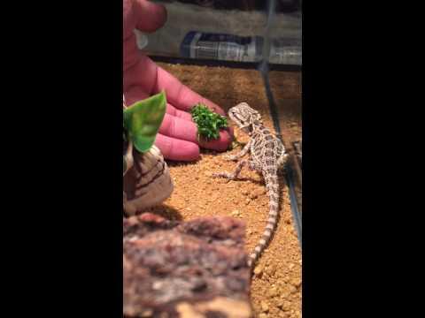hand feeding baby bearded dragon