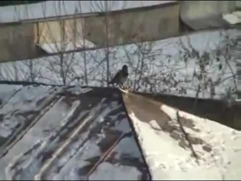 Il corvo che fa snowboard! Snowboarding Crow!!