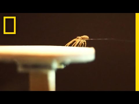 Spiders Spin Balloons to Fly Away | National Geographic