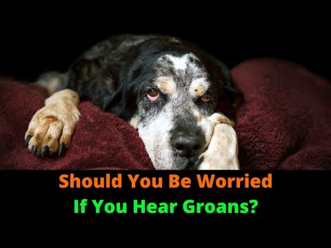 Why Is My Dog Groaning When He Lies Down? Puppy Moaning And Groaning Explained!
