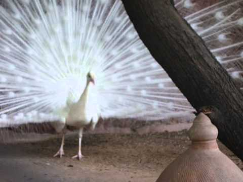 White peacock open her feather and dancing 3