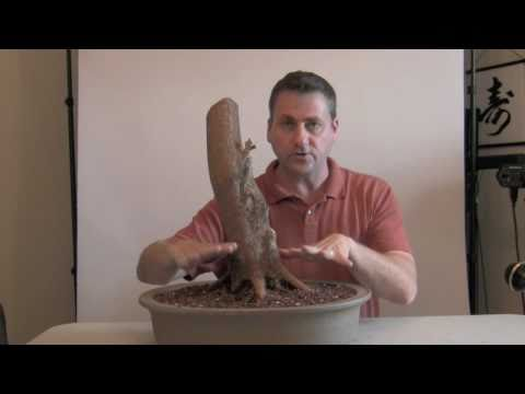 How to Bonsai - develop  Nebari - Surface Roots