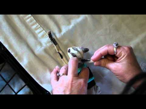 How to put on a sugar glider e-jacket