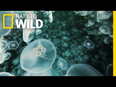 A Jellyfish Explosion | Alaska's Deadliest