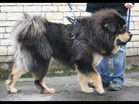 Most RARE Dog Breeds in the World
