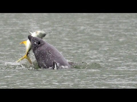Dolphins Playing with Their Food - Tossing a Large Crevalle Jack Fish