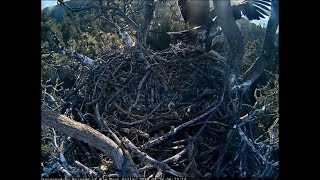 Big Bear Eagle Cam ~ Stormy Accidentally Falls From Nest 4.26.18
