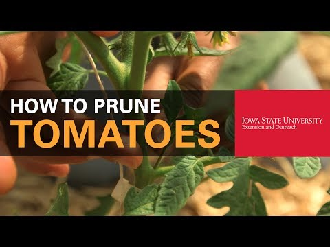 How to Properly Prune Tomatoes