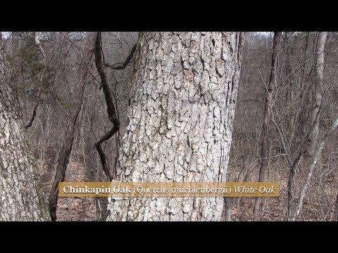 Identifying Trees by Their Bark Part 1 (Chinkapin & Shumard)