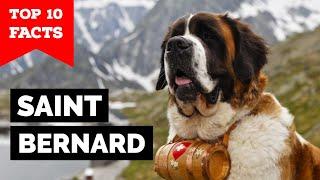 Saint Bernard - Top 10 Facts