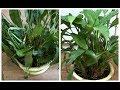 Download  Как быстро оживить умирающее комнатное растение  MP3,3GP,MP4