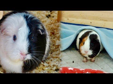 Guinea Pig Fleece vs Bedding