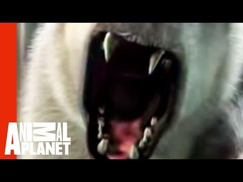 Polar Bear Zoo Attack