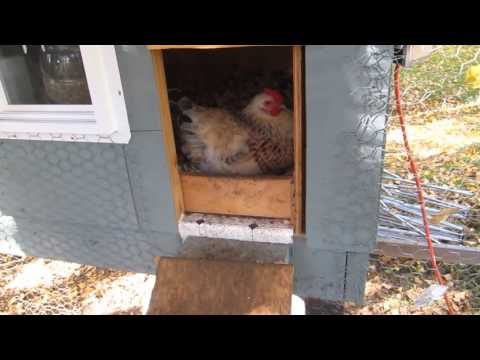 5-month old chicken in coop about to lay an egg