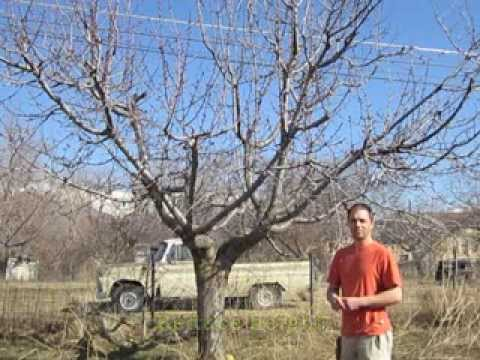 How To Prune Old Cherry Trees