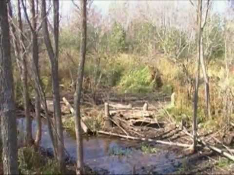 Beavers and Beaver Dam Removal, 2011 Part A