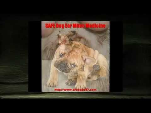 Ear Mites In Dogs And Dog Ear Infection Warning