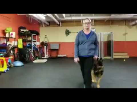 Training a Dog to Heel   Walking with a dog in Heel