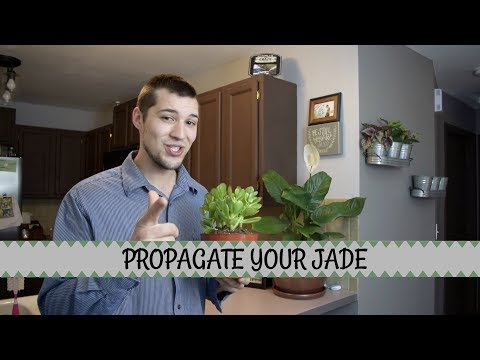 Propagating Jade Plant from Division, Cuttings, and Leaves!