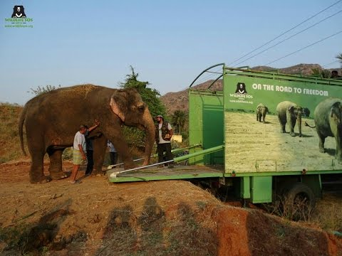 Rhea The Elephant Abused For 53 Years Finally Rescued And Reunites With Her Sisters