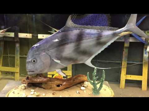 African Pompano Fish Mount - Gray Taxidermy Fishmounts, Custom fish reproductions