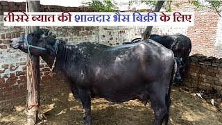 👍FOR SALE: 3rd Timer Murrah Buffalo -20 Litre Milk Yield- Available