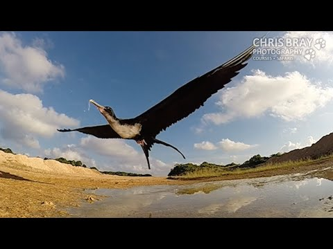 Slow Motion Frigatebird swooping to drink from puddle - Christmas Island
