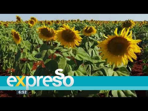 Flora Sunflower Fields and how to make margarine at home
