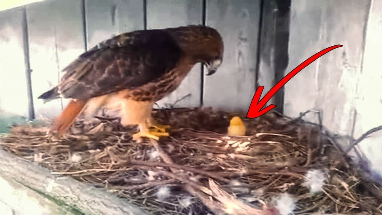 A Farmer Put a Chicken Egg Under an Eagle and This is What Happened Next