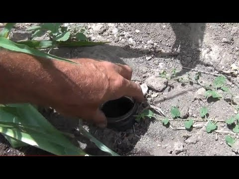 Garden Insect Earwig Control