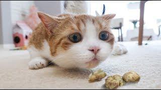 Download 【花花与三猫】给猫咪尝下虫瘿果,刚吃半颗就嗨起来了,比猫薄荷还喜欢吃! Video