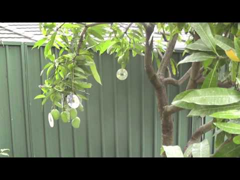 Protect your fruit trees from birds and possum using this simple method