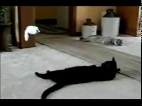 Bagheera my big fat black cat.