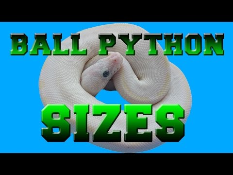 Ball Python Sizes Baby to Adult